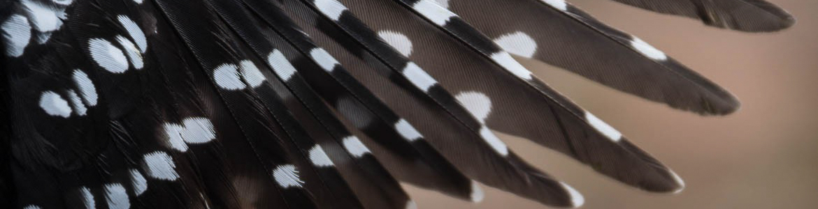 Beaverhill Bird Observatory - Hairy Woodpecker Wing
